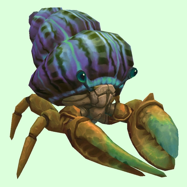 Bronze Hermit Crab w/ Purple & Blue Shell